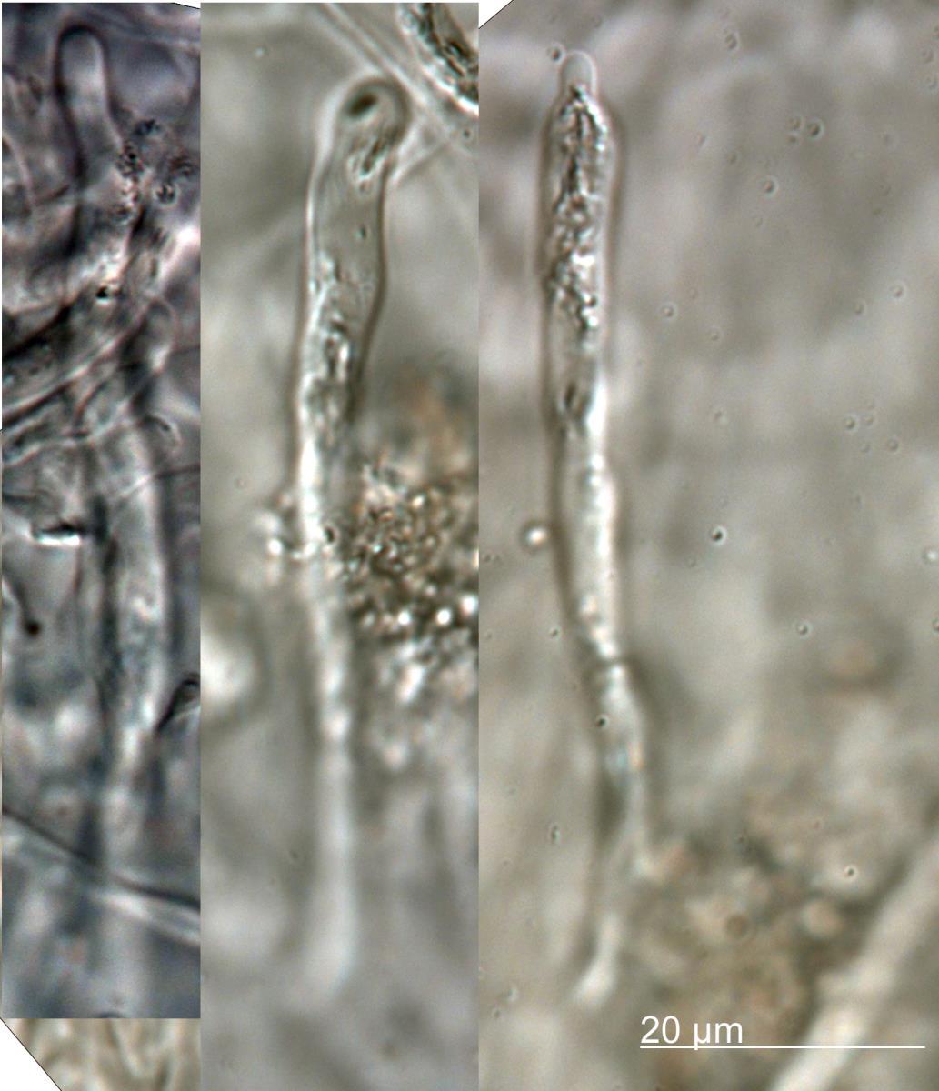 Russula multicystidiata image