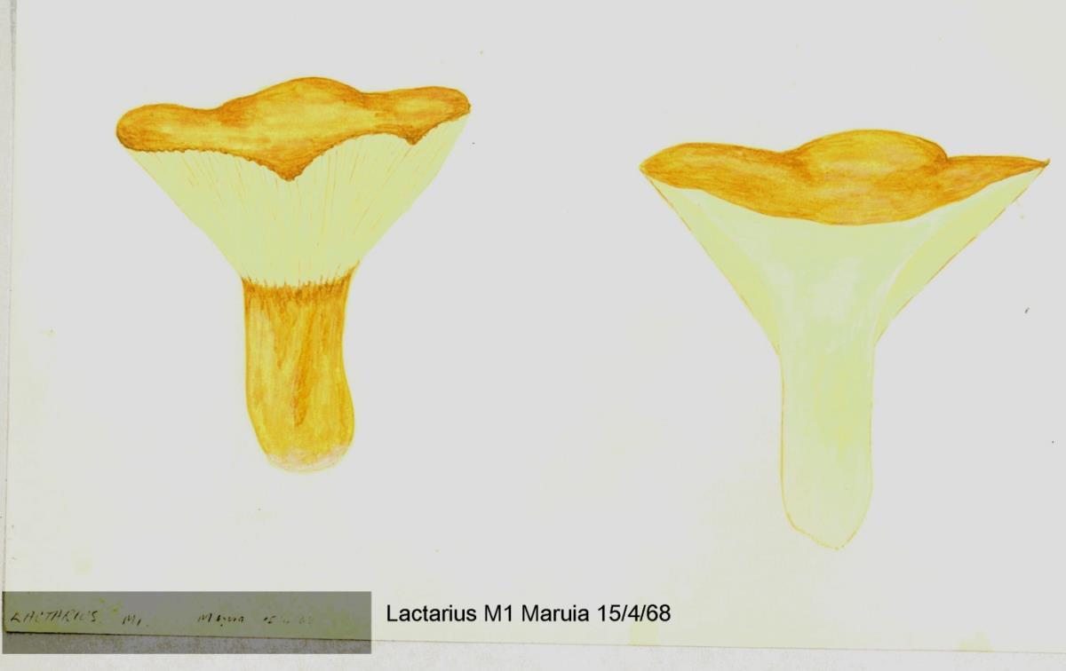 Image of Lactarius maruiaensis