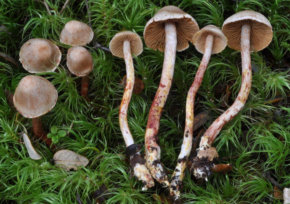 Image of Cortinarius sclerophyllarum