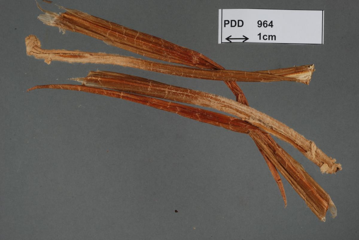 Image of Coniothyrium celmisiae