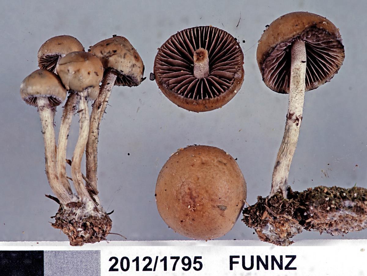 Psilocybe alutacea image
