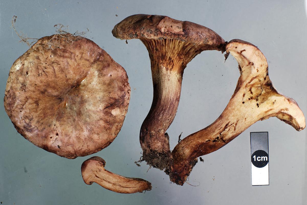 Image of Paxillus ammoniavirescens