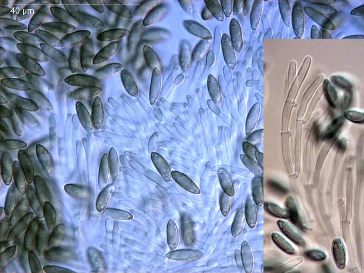 Myrothecium image