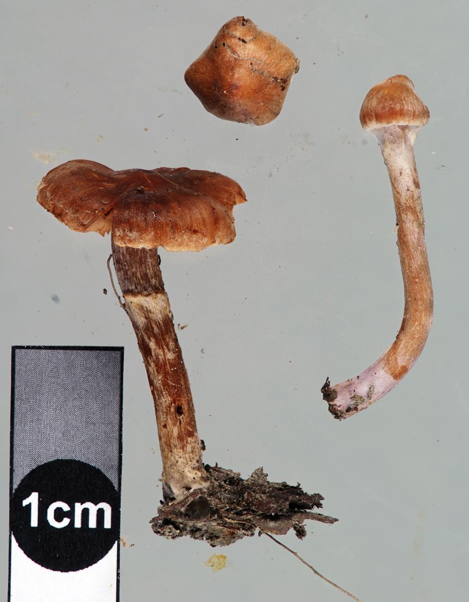 Cortinarius pseudofallax image