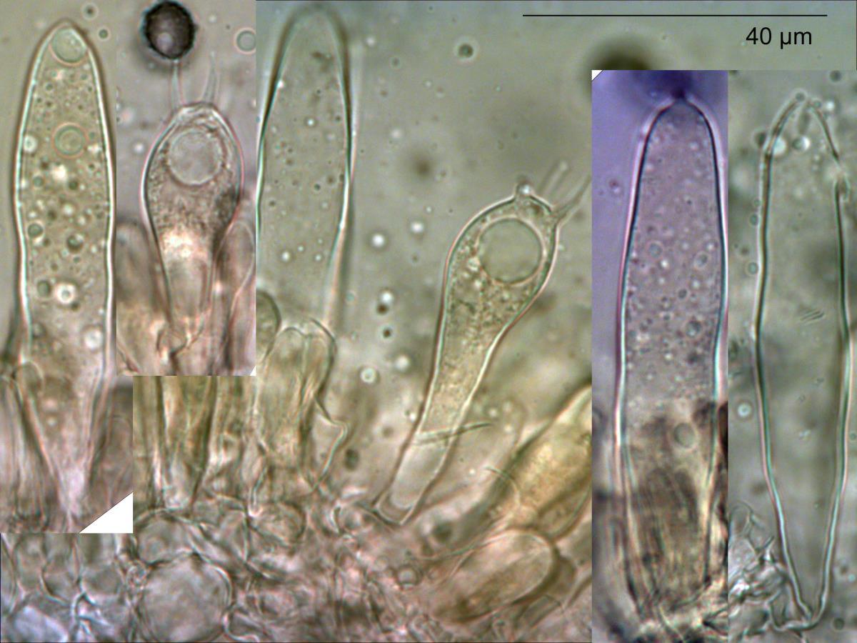 Image of Russula pilocystidiata