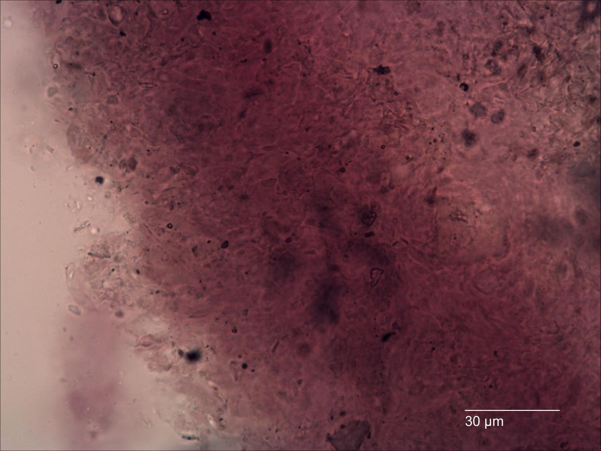 Image of Macowanites rubroluteus