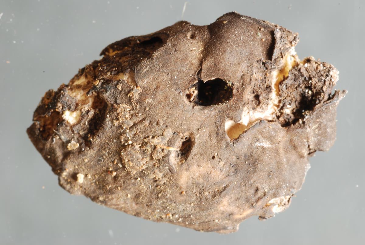 Image of Gymnomyces fuscus