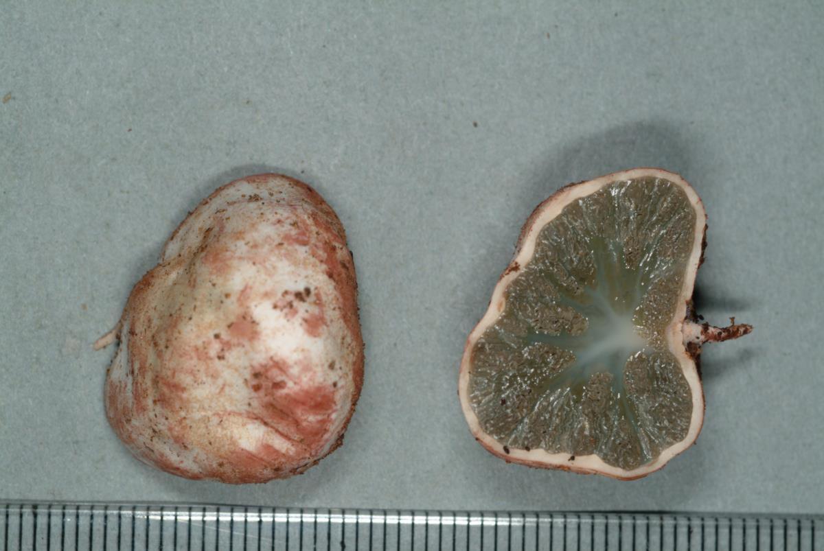 Image of Hysterangium inflatum