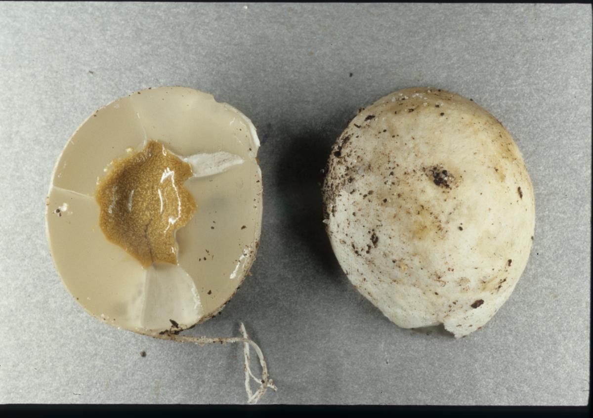 Protubera canescens image