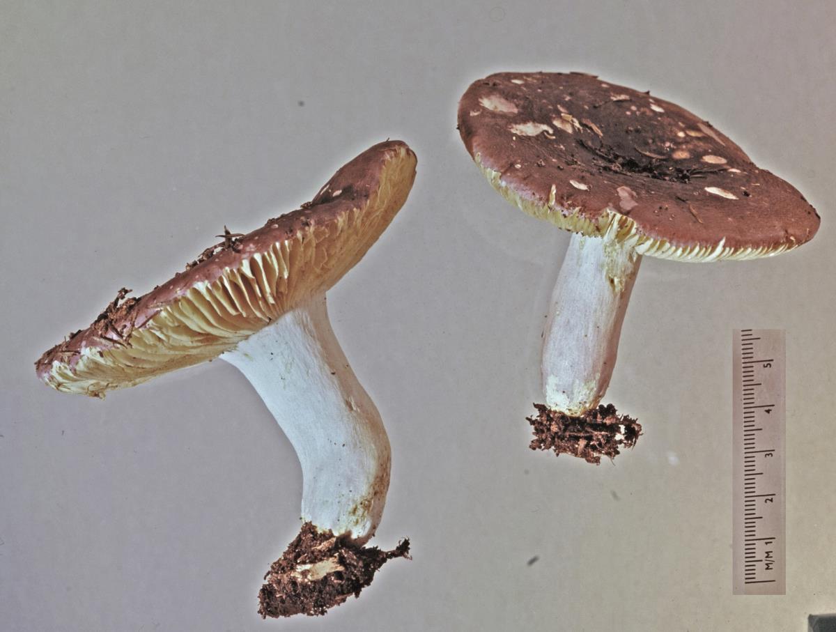 Image of Russula pudorina
