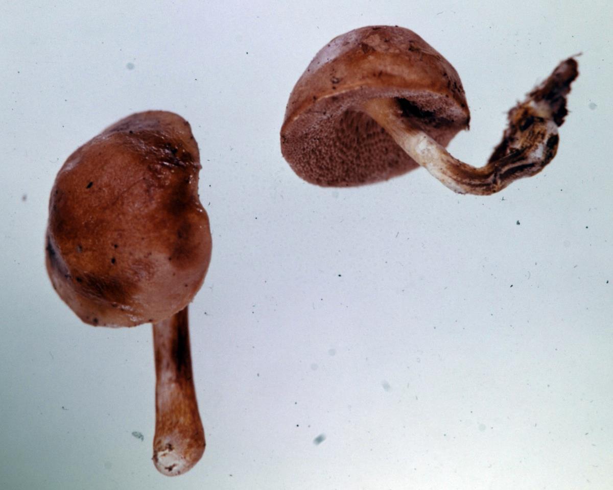 Image of Fistulinella nothofagi