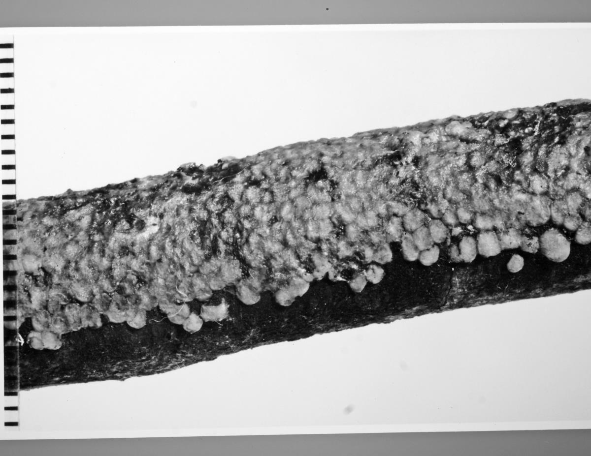 Pseudostypella image