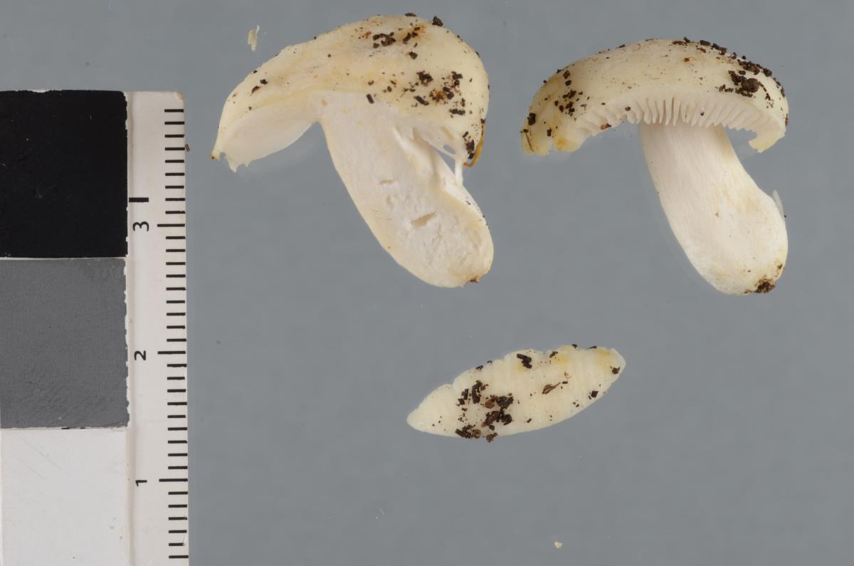 Image of Russula albolutescens