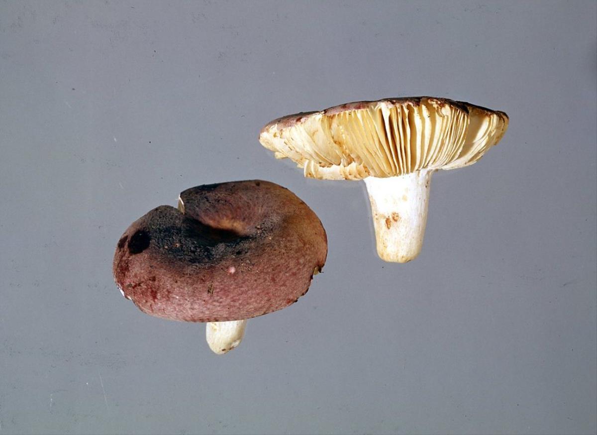 Image of Russula subvinosa