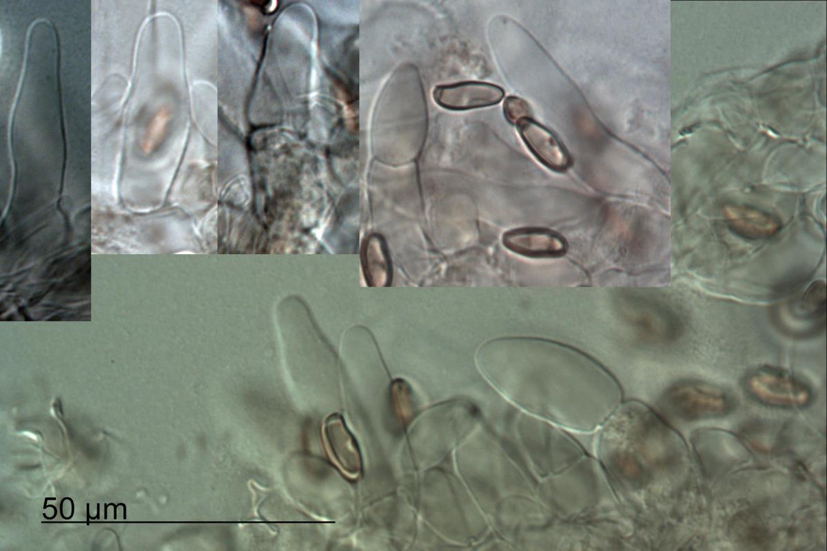 Image of Boletus bubalinus