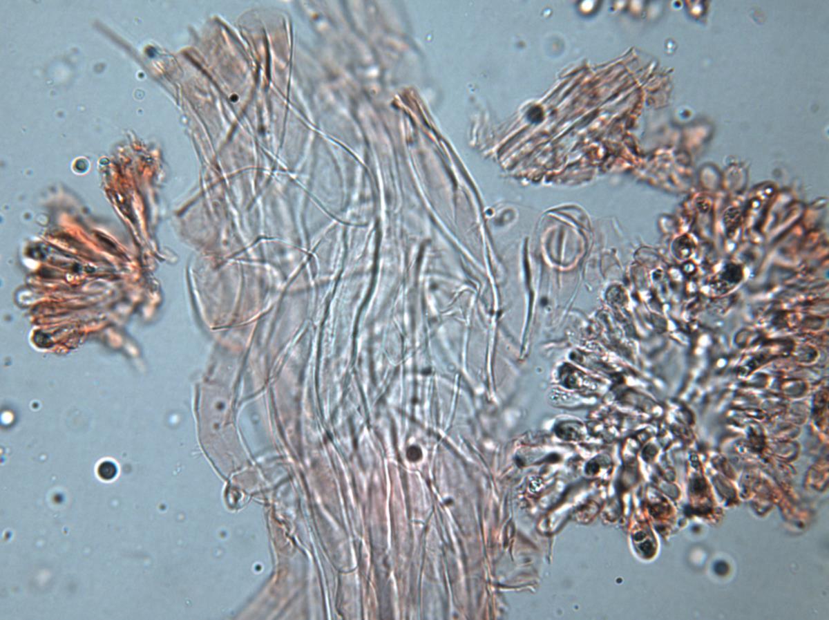Austropaxillus mcnabbii image