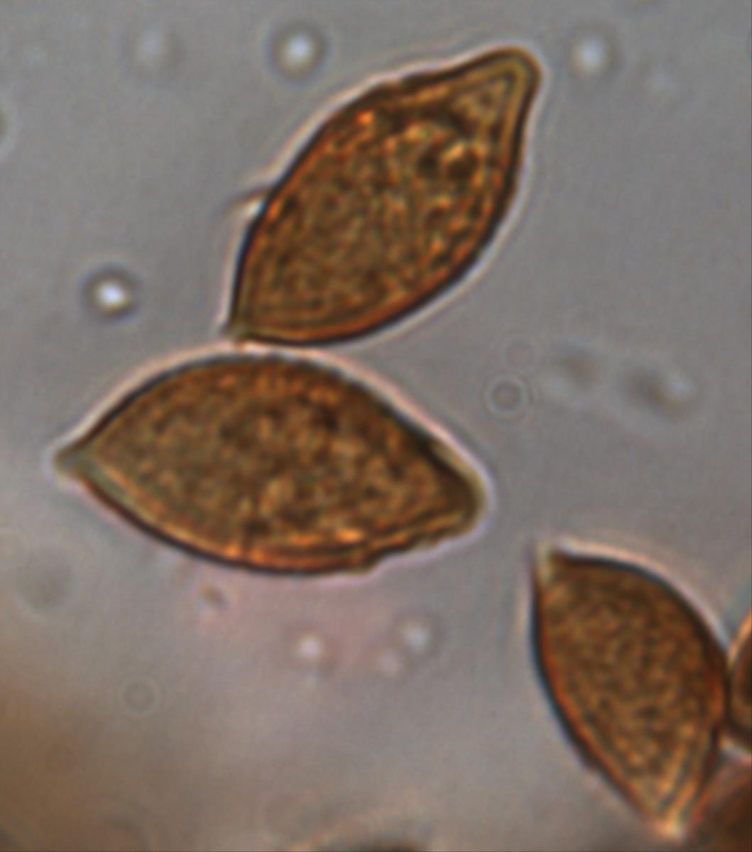 Setchelliogaster australiensis image