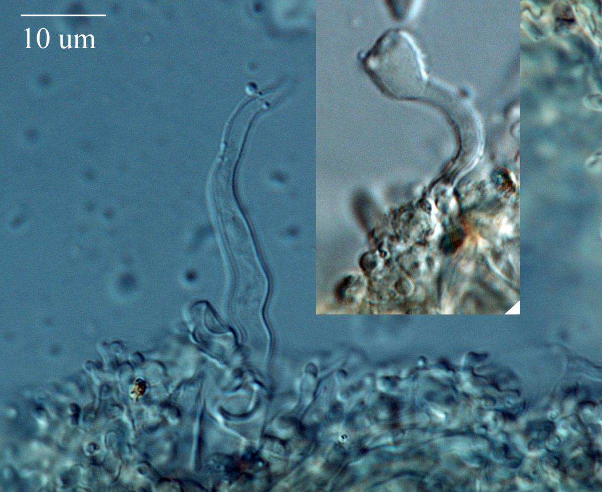 Image of Hemimycena cephalotricha