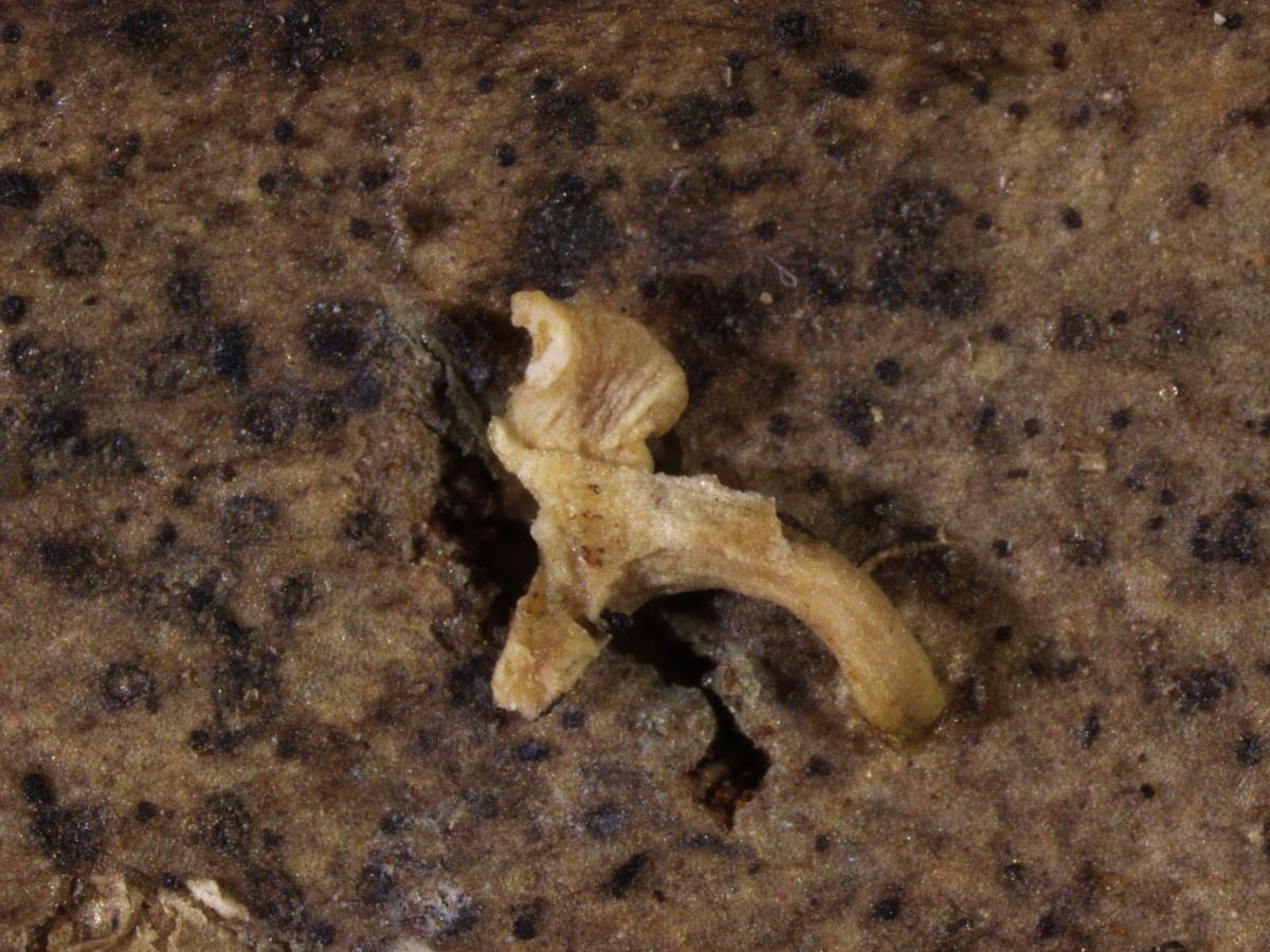 Image of Hymenoscyphus leucopus