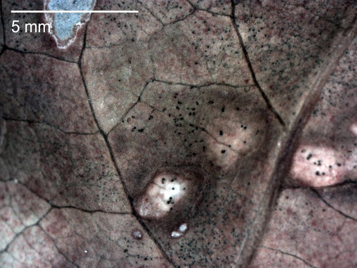 Mycosphaerella coacervata image