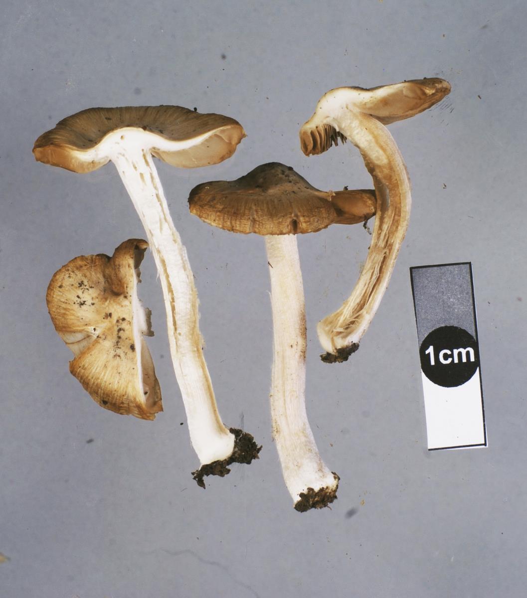 Image of Inocybe brunneidisca