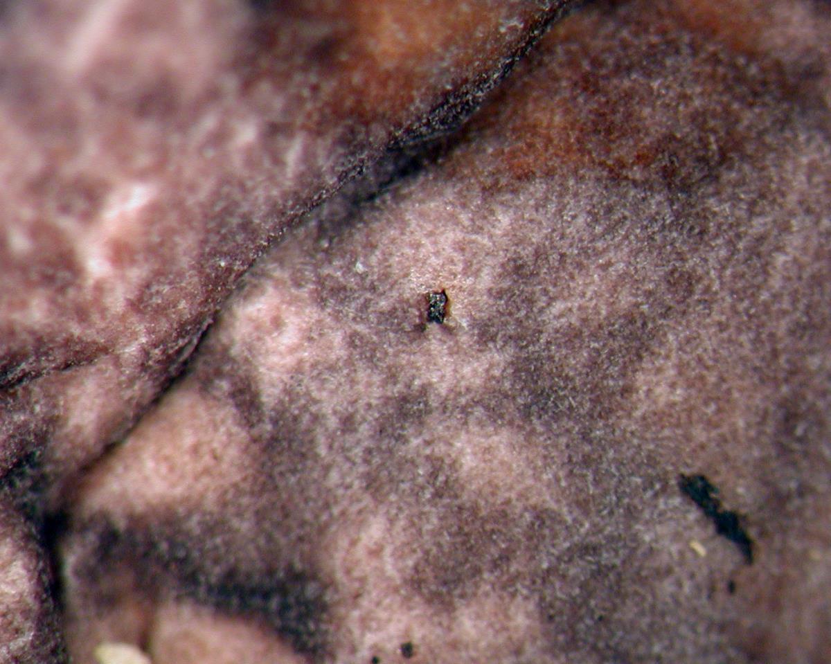 Russula subvinosa image