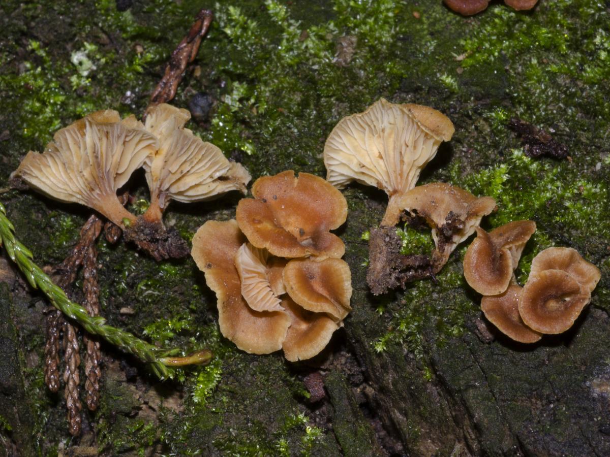 Image of Xeromphalina podocarpi
