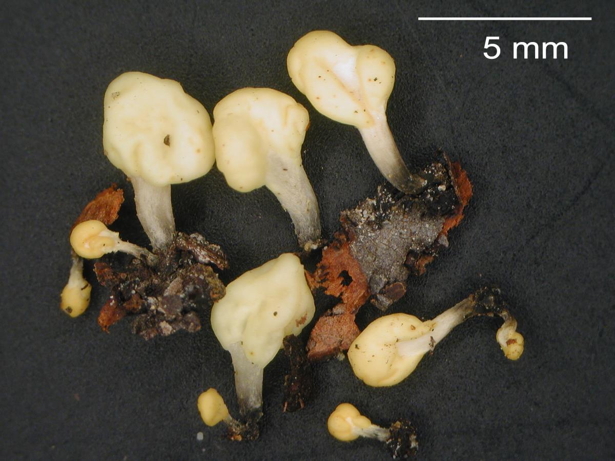 Mitrulinia ushuaiae image