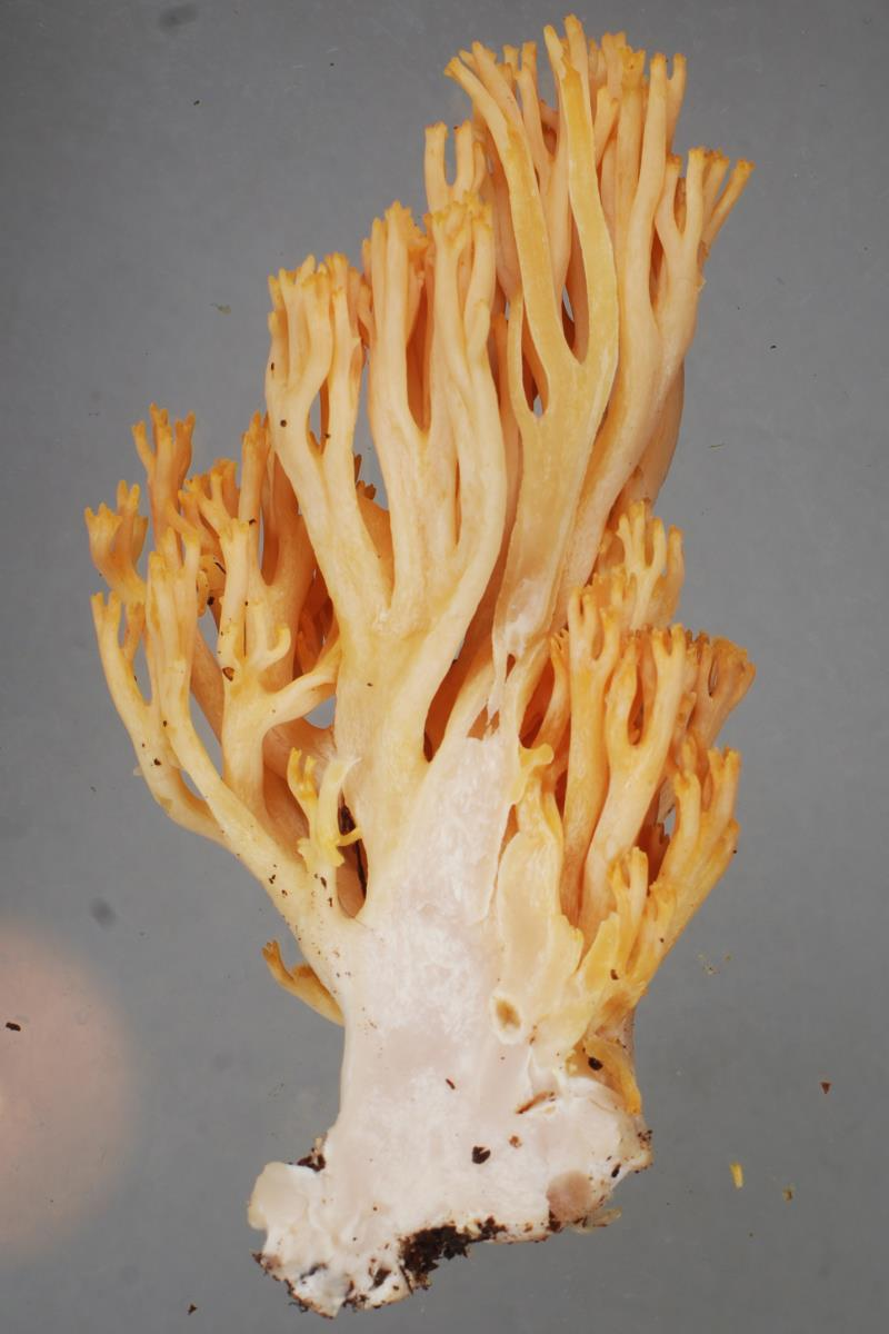 Image of Ramaria junquilleovertex