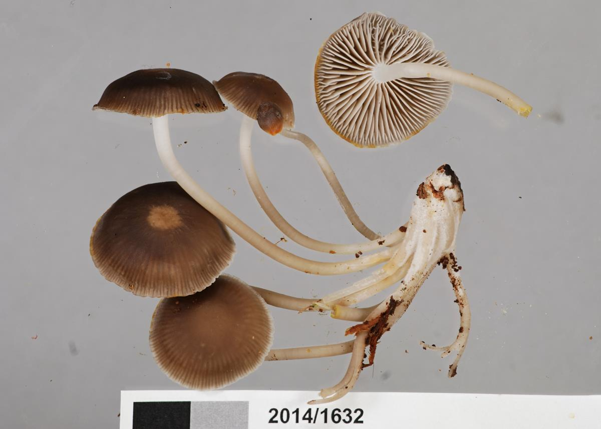 Image of Mycena tuvara