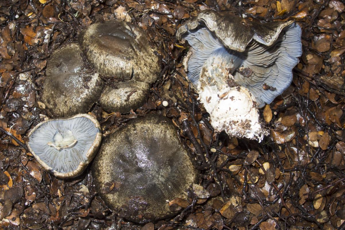 Image of Cortinarius austrocyanites
