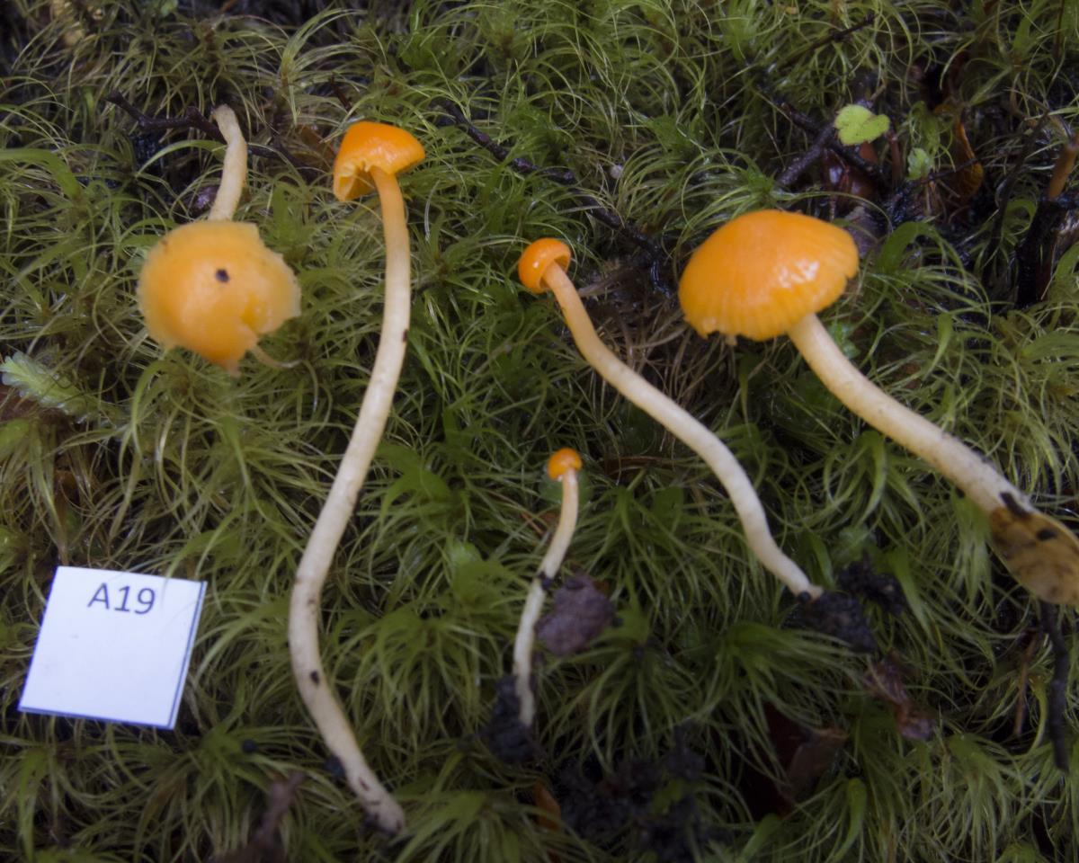 Image of Camarophyllus apricosus