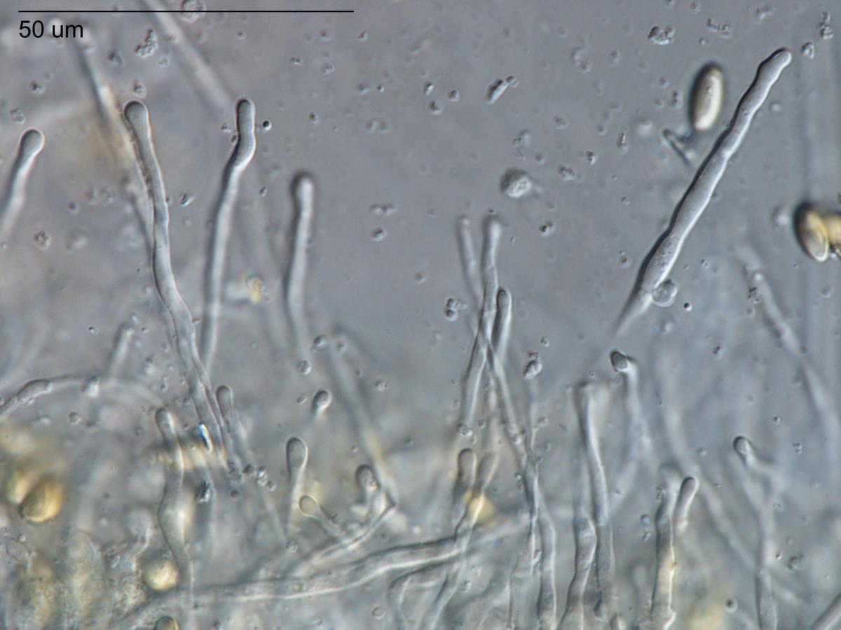 Image of Boletus rawlingsii