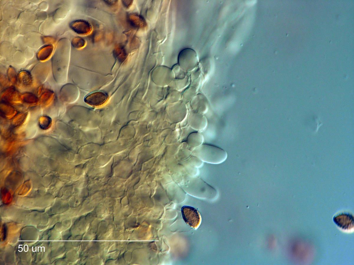Hebeloma aminophilum image