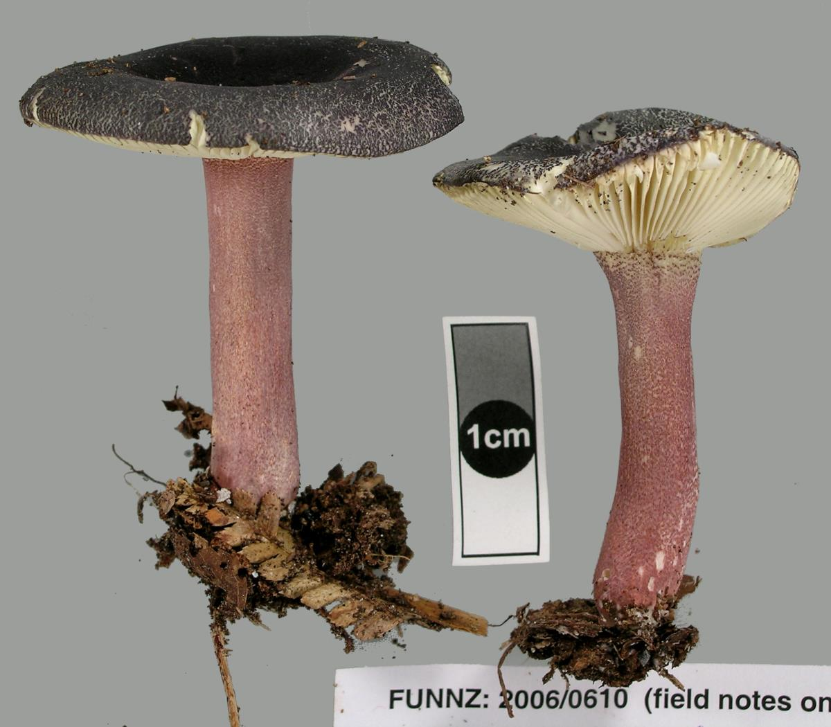 Russula atrovirens image