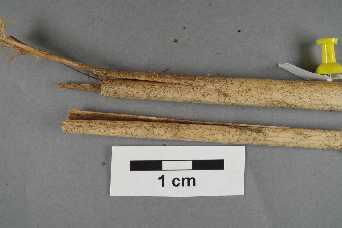 Image of Marasmius fishii