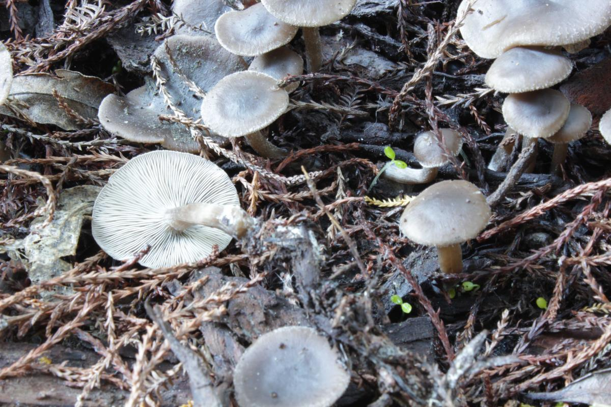Clitocybe brunneoceracea image