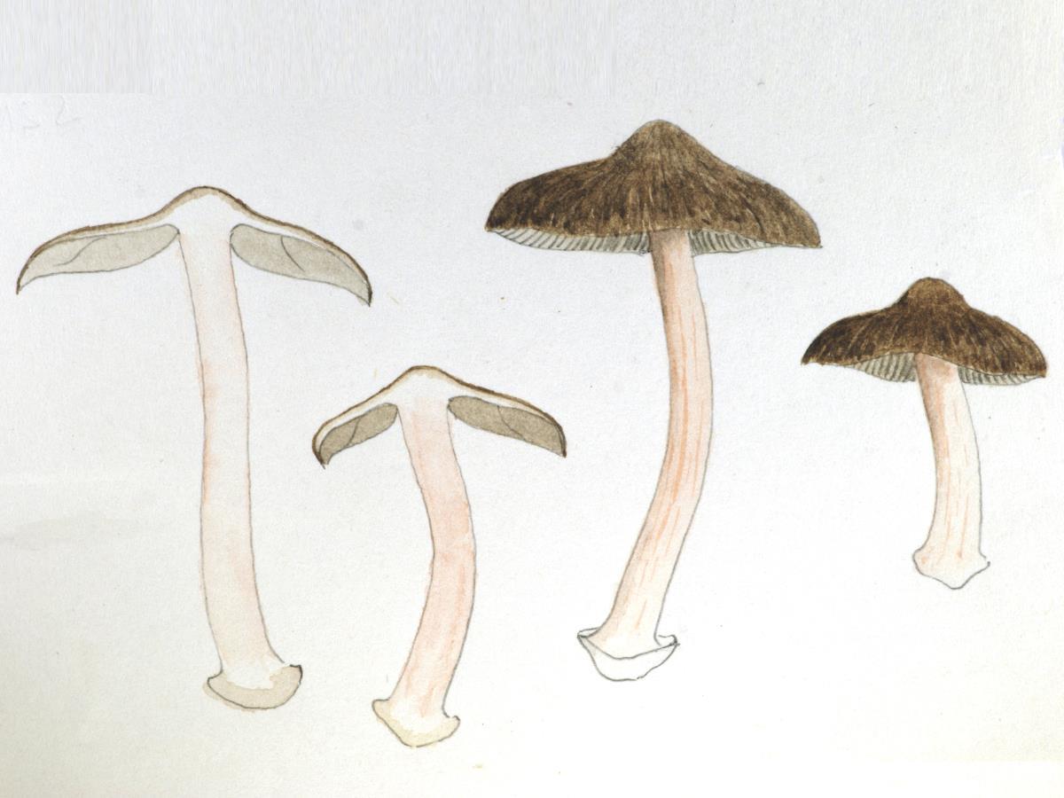 Astrosporina leptospermi image