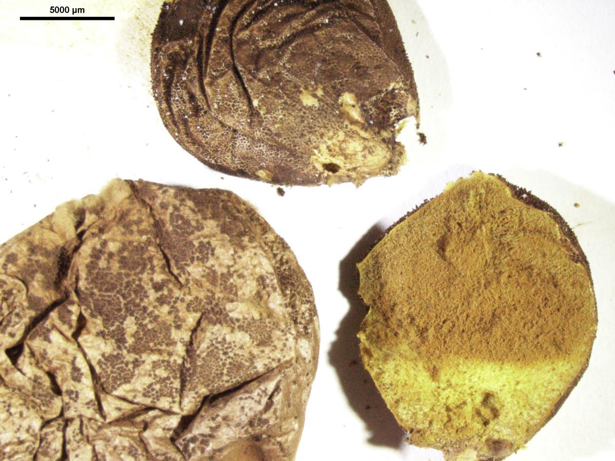Lycoperdon spadiceum image