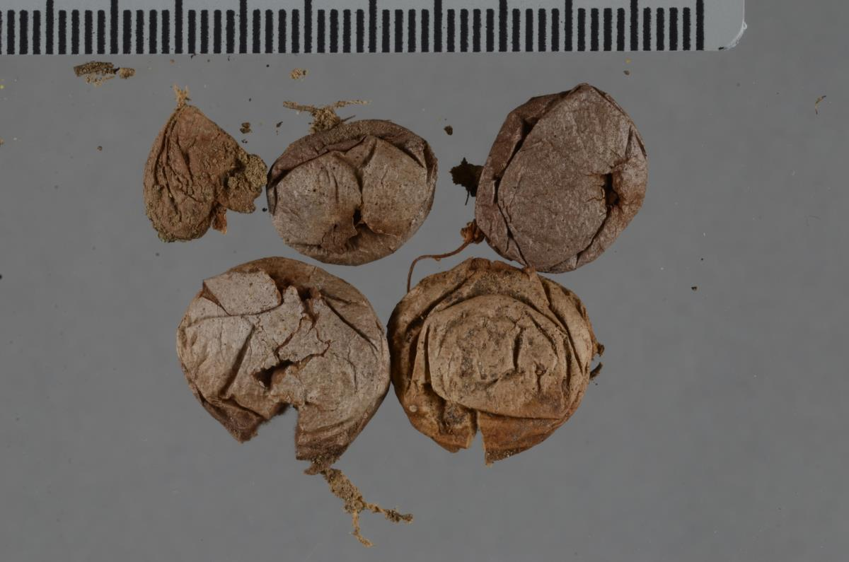 Lycoperdon polymorphum image