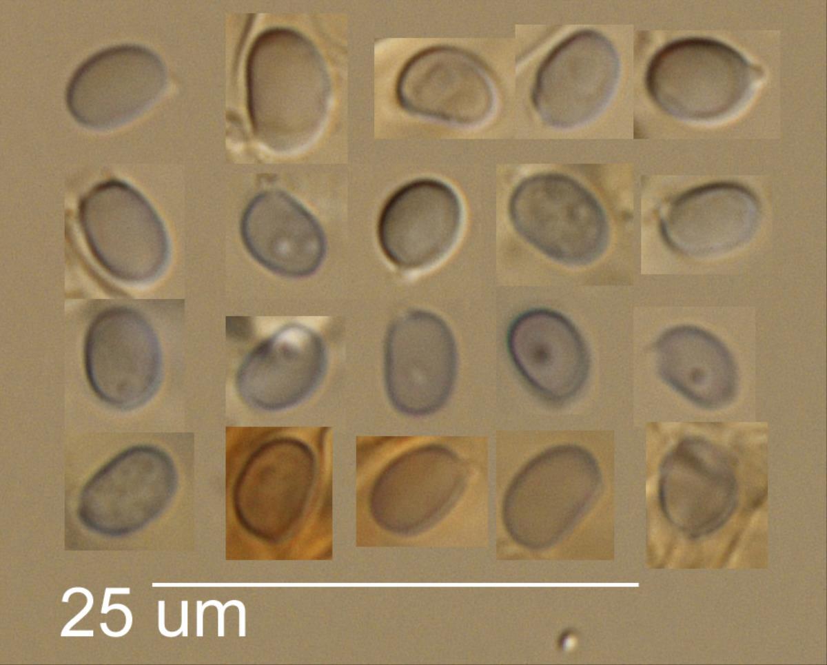 Dermoloma hemisphaericum image