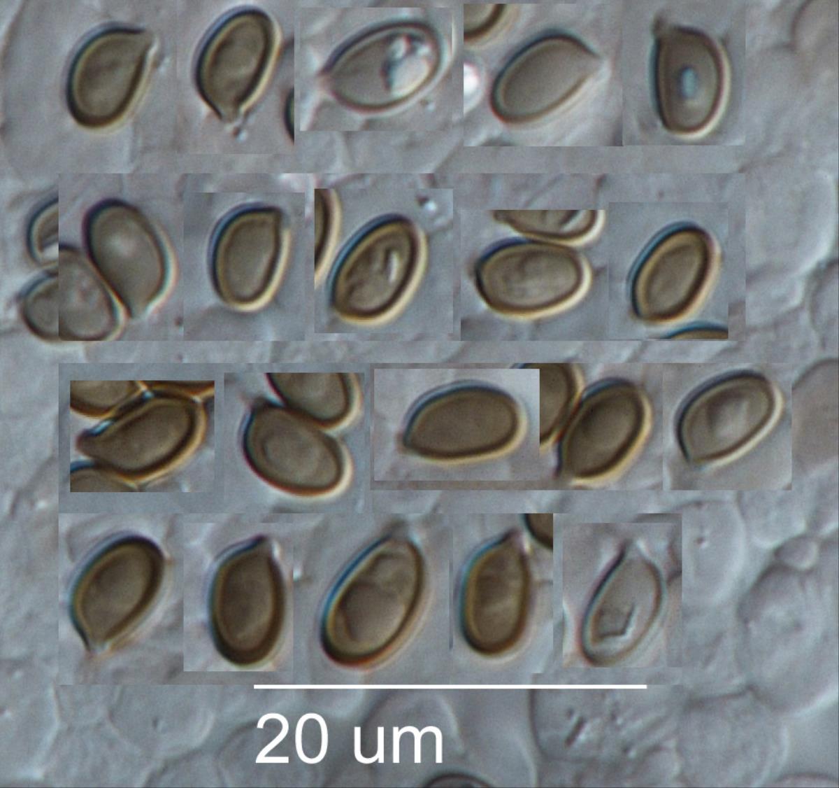 Agaricus dolichopus image