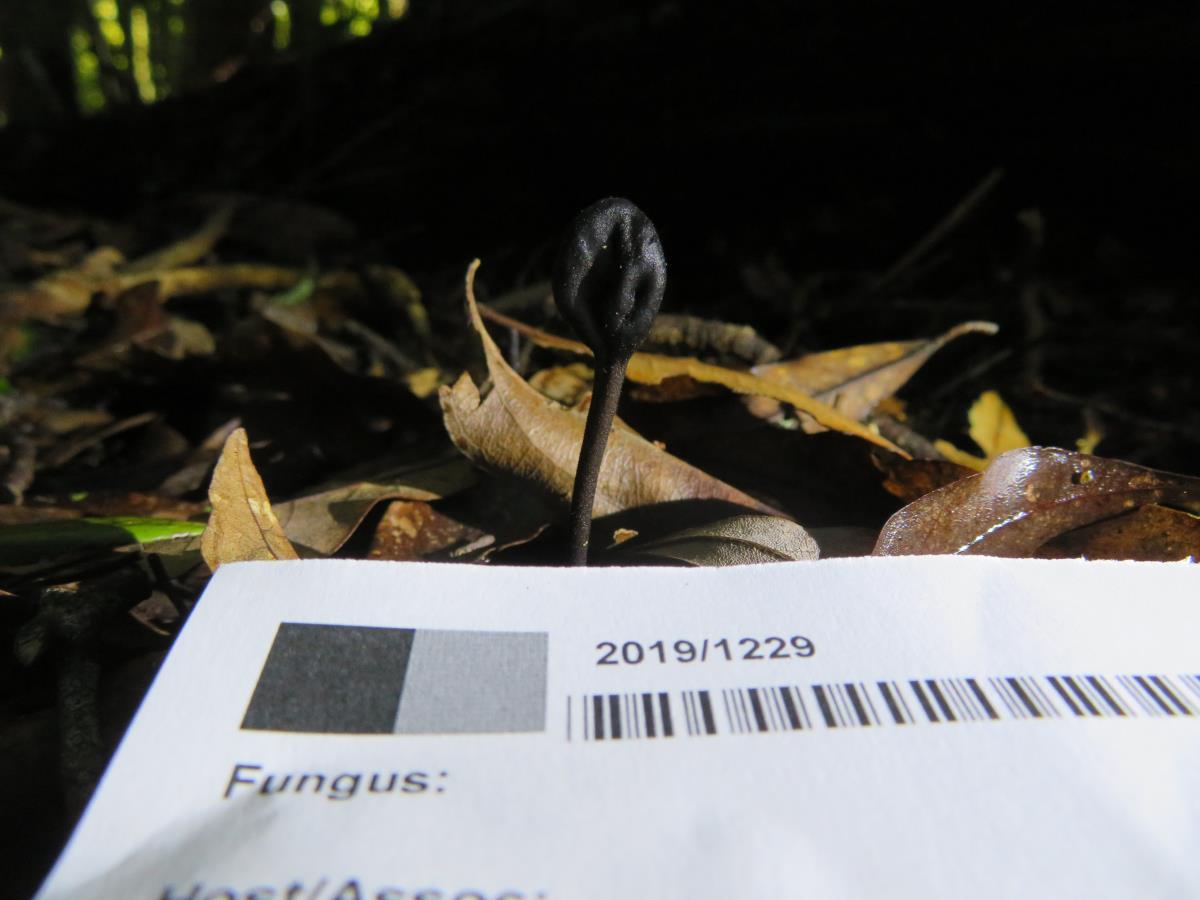 Image of Geoglossum australe