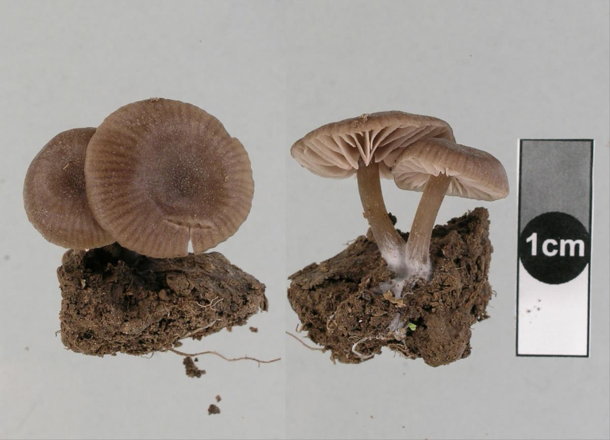 Image of Entoloma readiae