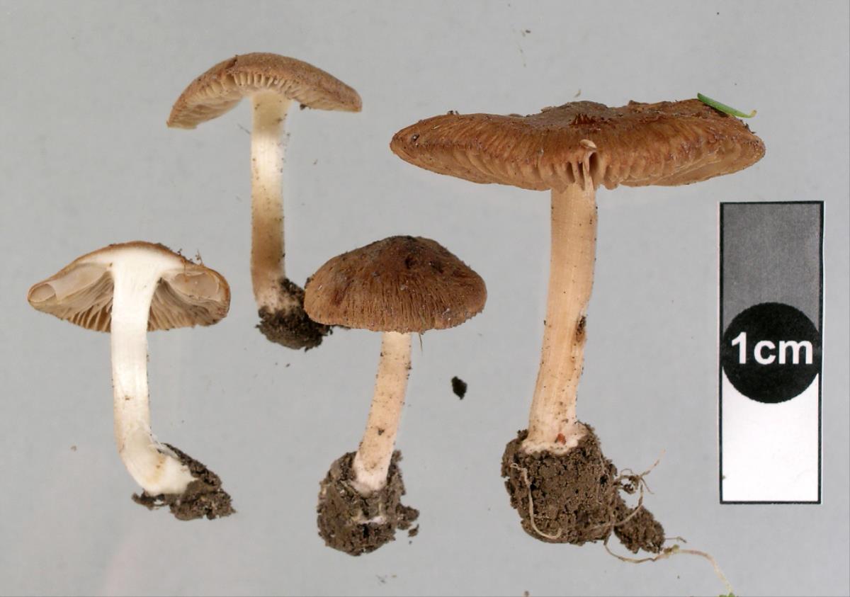 Image of Inocybe dewrangia