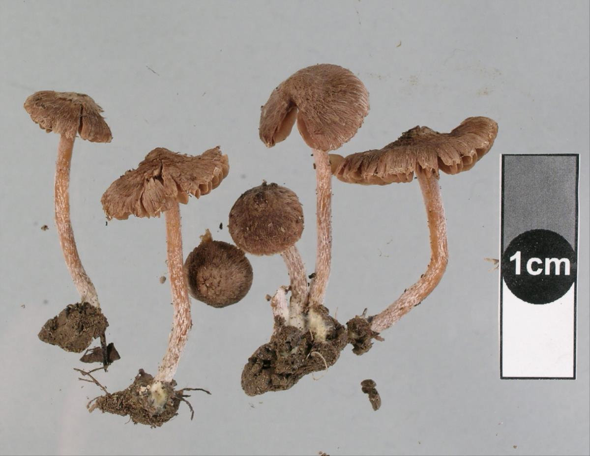 Image of Inocybe serratoides