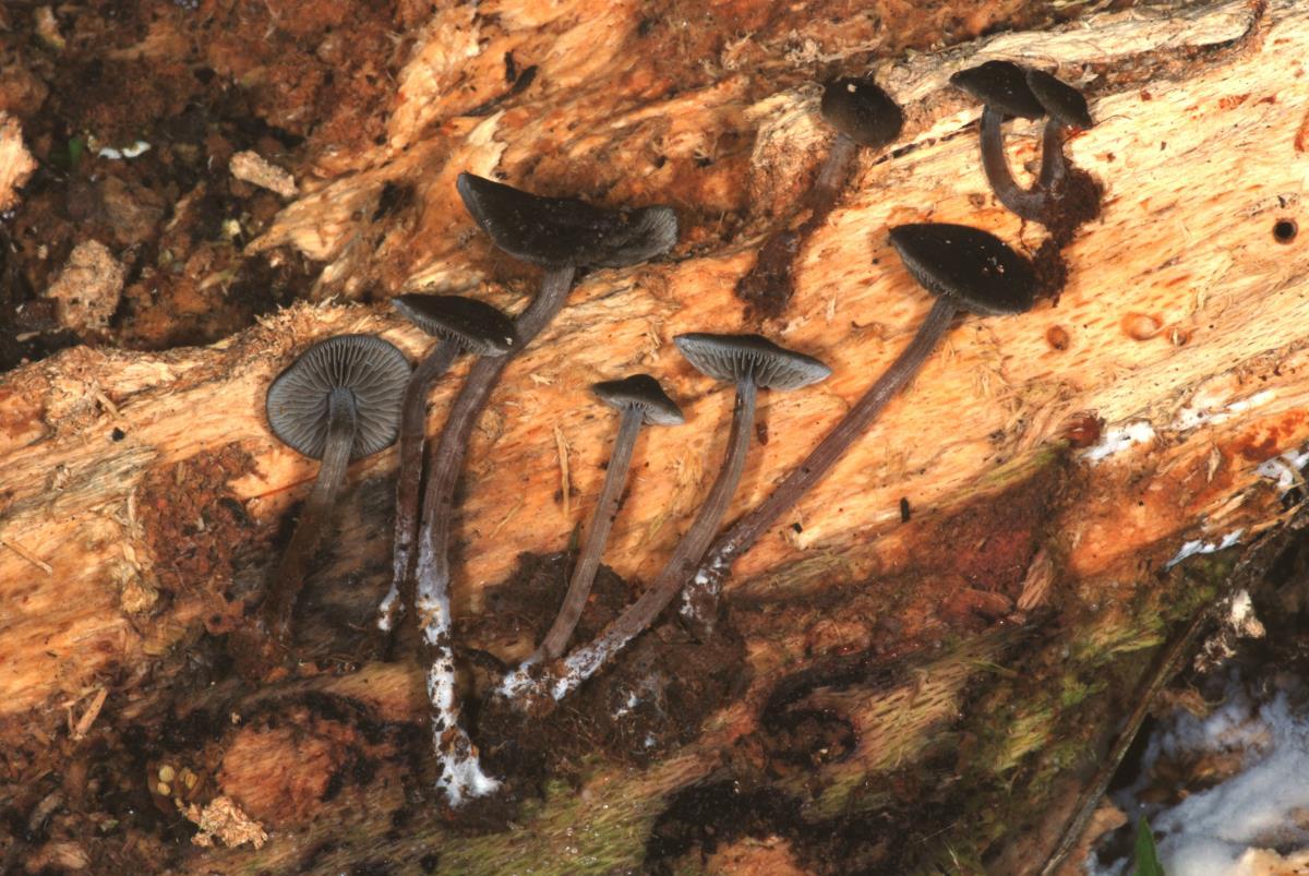 Image of Panaeolus fimbriatus