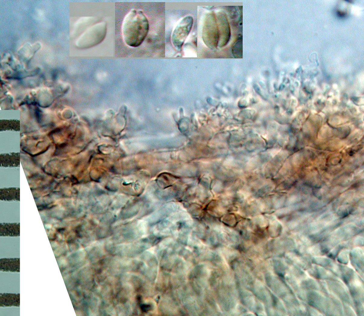 Image of Marasmius pallenticeps