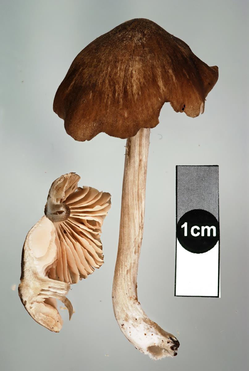 Image of Entoloma congregatum