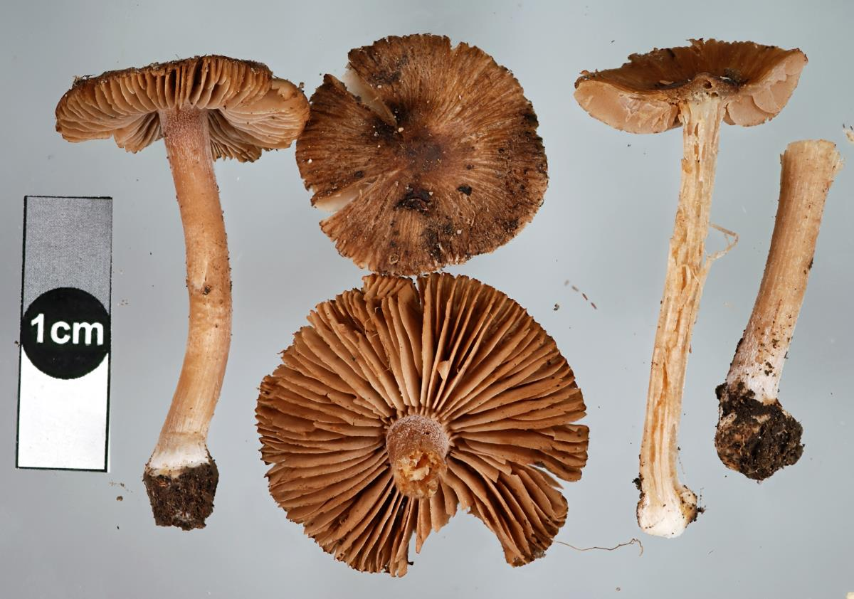Image of Inocybe bulbinella